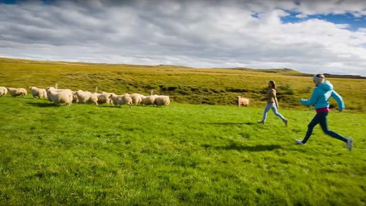 Zwei Urlauberinnen auf einer Schafherde in Island